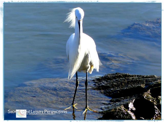 Terri's Snowy Egret