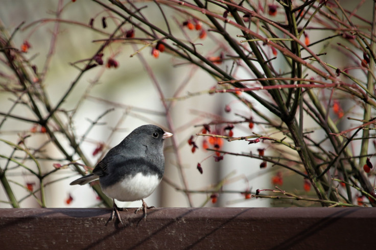 Rita's Dark Eyed Junco