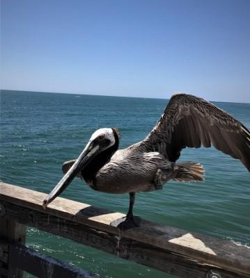 Rita's Brown Pelican