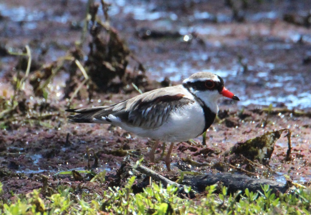 Glenys' Black-fronted Dotteril