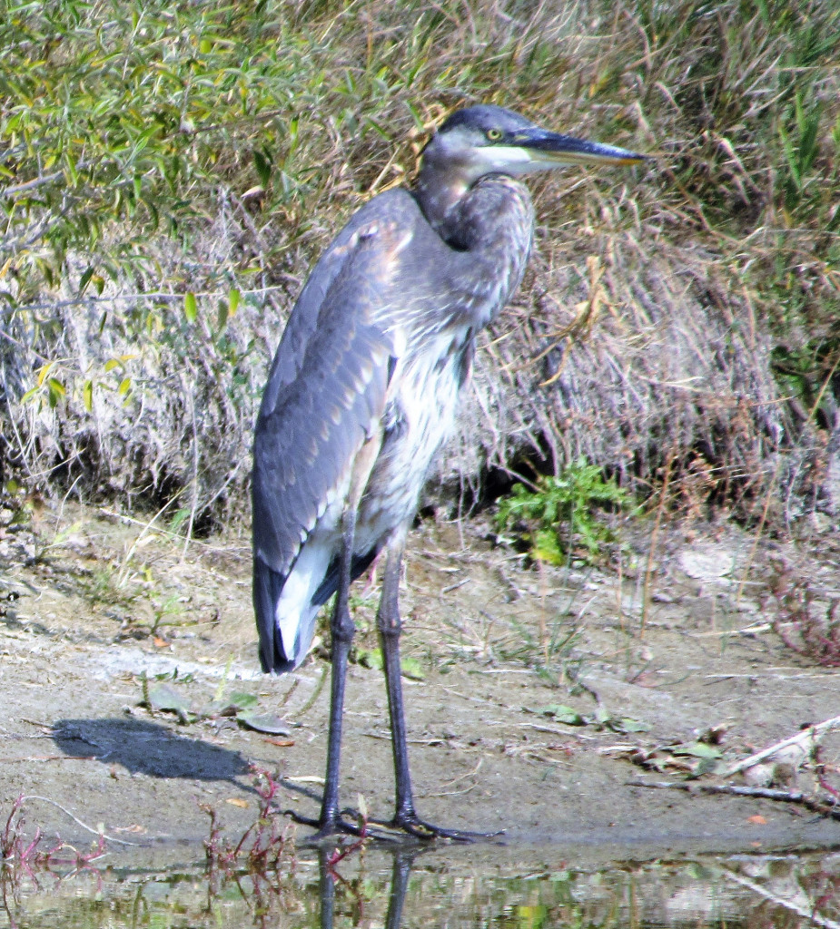 Jeanne's Great Blue Heron