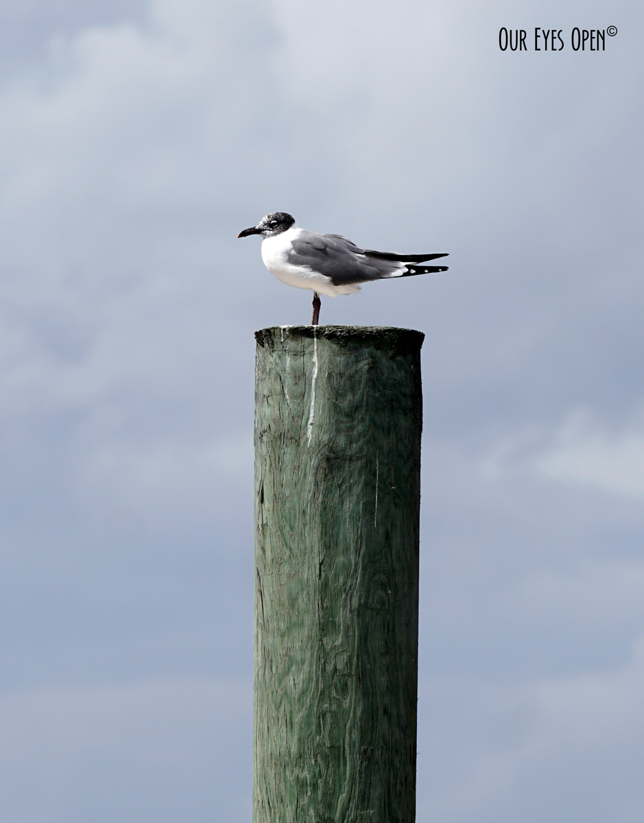 Laughing Gull perched up on a post at the boat dock ramp.