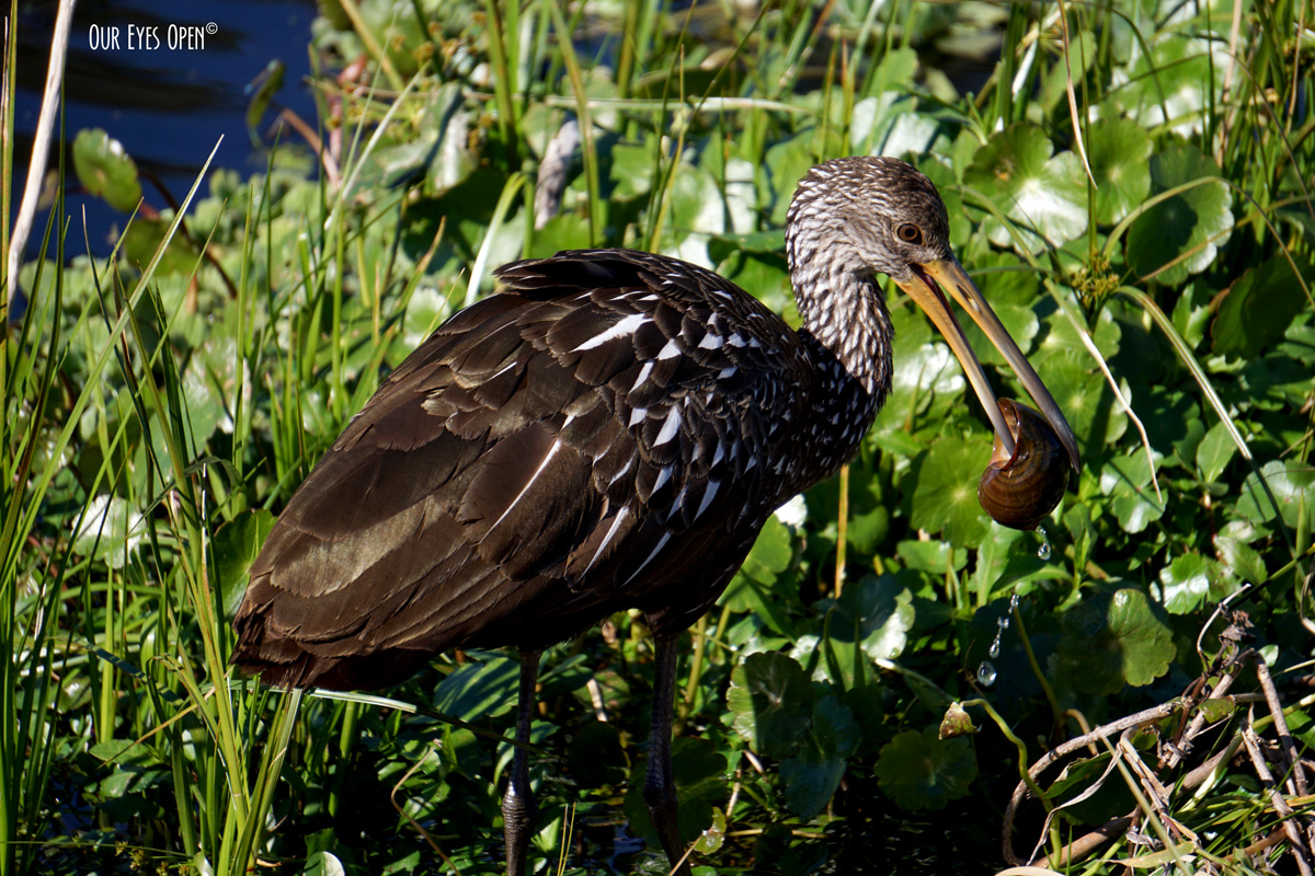 Limpkin with a snail in the beak.