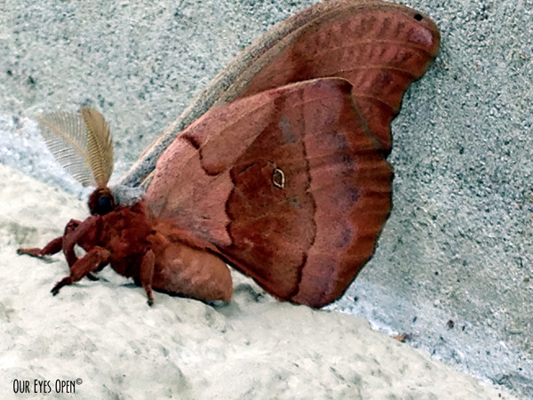 Moth with full auburn colors.