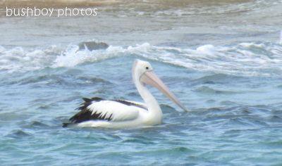 Brian's Australian Pelican