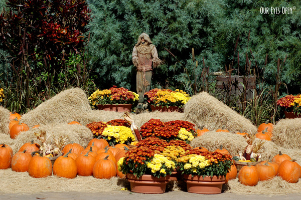 Pumpkin patch with a scarecrow, bales of hay and Fall flowers.