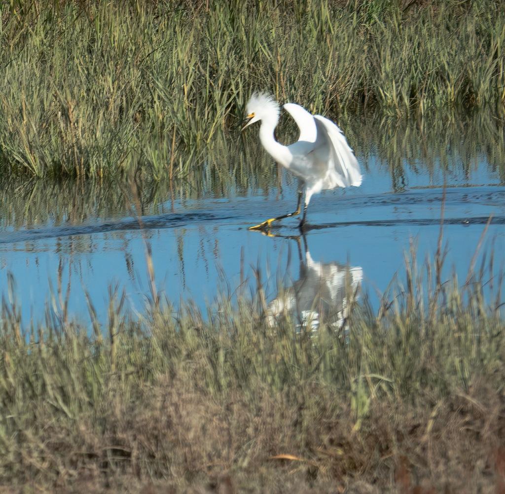 Susan's Snowy Egret