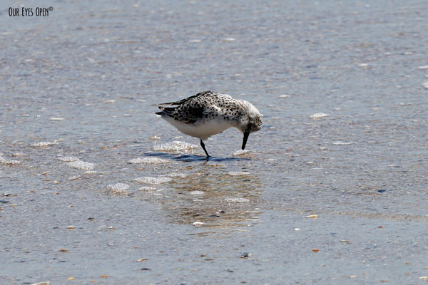 Sanderling digging for something to eat in the sand.