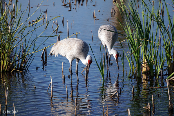Sandhill Cranes foraging at Viera Wetlands in Viera, Florida.