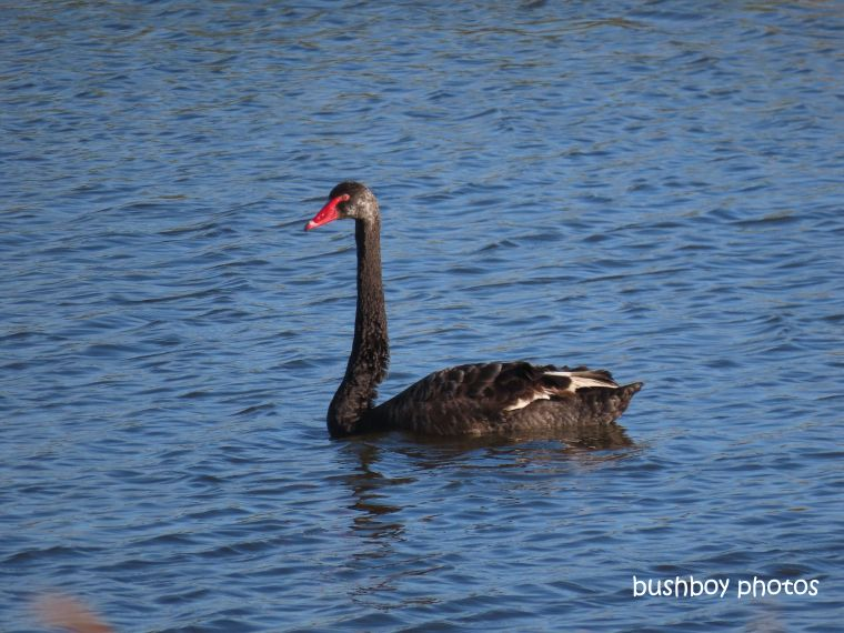 Brian's Black Swan