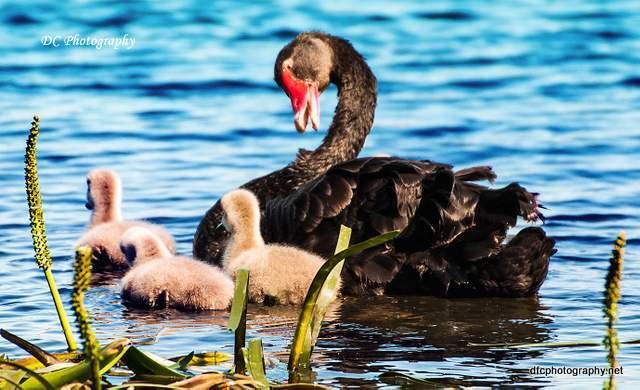 Wooley's Black Swan & chicks