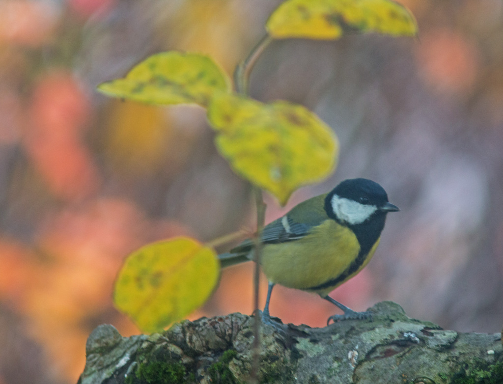 Maria's Great Tit