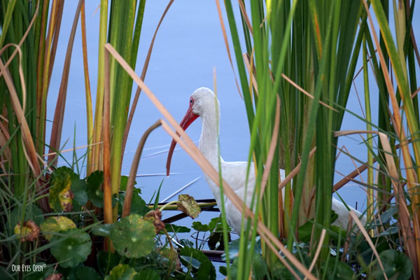 White Ibis hiding in the reeds just at the edge of the water at Viera Wetlands in Viera, Florida.