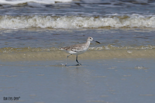 Willet prancing along the shoreline at Little Talbot Island State Park.