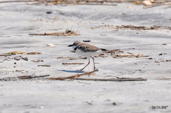 Wilson's Plover strolling along the beach at Little Talbot Island State Park.