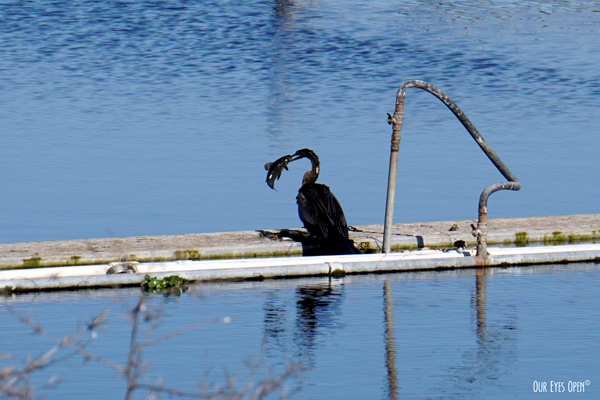 Anhinga with a large fish. He beat it on the dock for about 30 minutes.