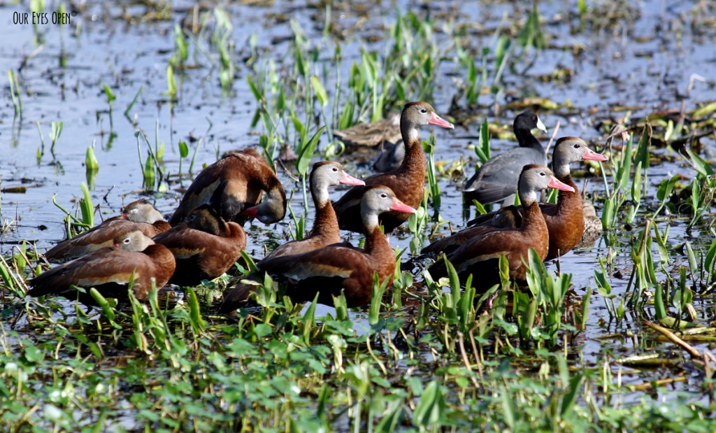 Black-bellied Whistling Ducks in Orlando Wetlands in Christmas, Florida.