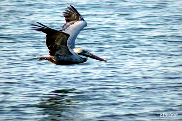 Brown Pelican soaring just above the water at Fort Clinch State Park in Fernandina, Florida.