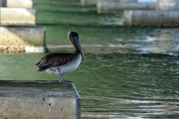 Brown Pelican perched on the pilons under a bridge for some shade on a warm day in Tampa Bay.