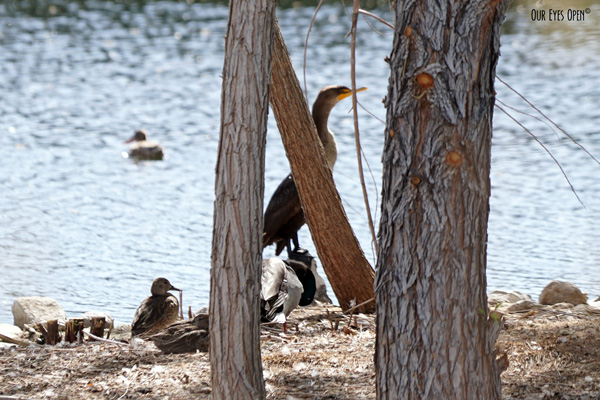 Double-crested Cormorant hiding behind some trees, hanging out with some ducks.