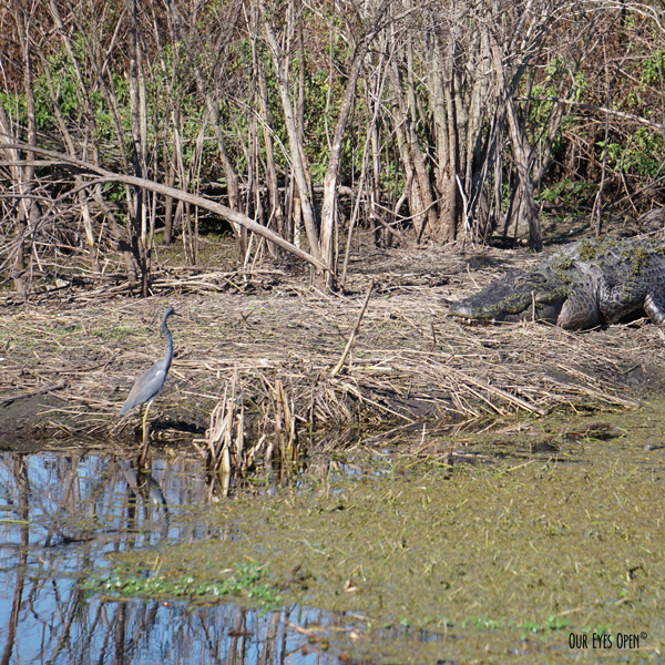 Tricolored Heron pushing his luck with the big ole' gator.  In Florida, where there's water, there is always a chance an alligator is somewhere to be found.