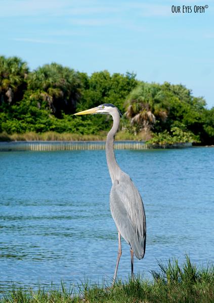 Little Blue Heron at Fort Desoto Park near St. Petersburg, Florida.