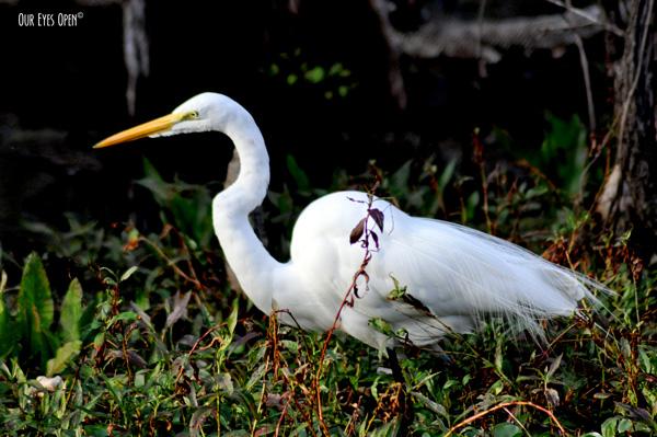Great Egret fishing.