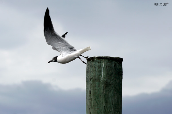 Laughing Gull taking off from a pylon at the Reddie Point dock in Jacksonville, Florida.