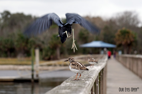 Little Blue Heron taking flight amongst the Ruddy Turnstones hoping someone will drop their bait on the dock at Reddie Point in Jacksonville, Florida.