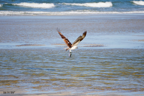 Osprey with a fish in its talons at Little Talbot Island State Park.