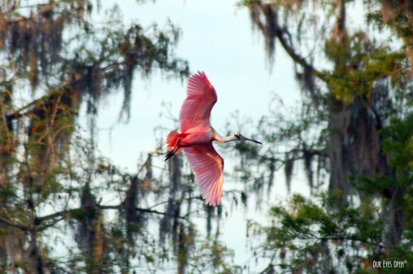 Roseate Spoonbill flying towards a roosting tree over the Hillsborough River in Tampa, Florida.