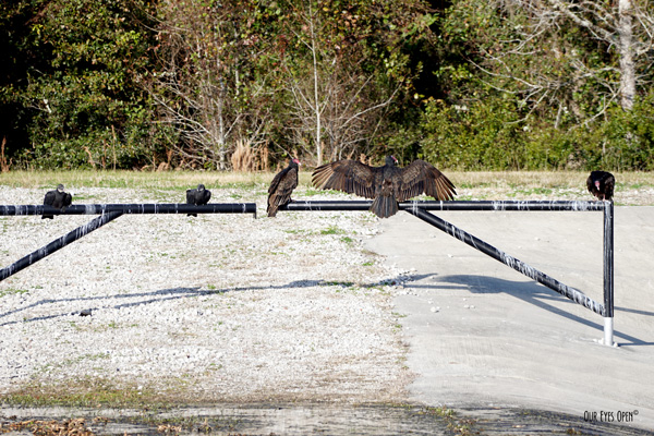 A family of Turkey Vultures hanging out at Sweetwater Preserve in Gainesville, Florida.