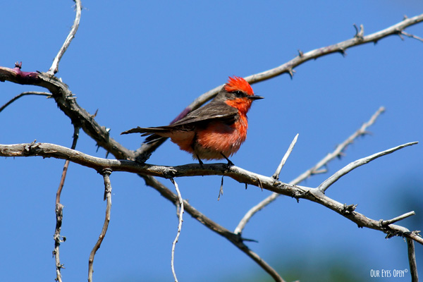Vermilion Flycatcher perched up on a branch in the Desert National Wildlife Refuge in Las Vegas, Nevada.