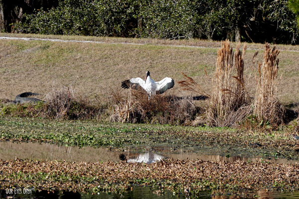 Wood Stork drying his wings in the sun at Sweetwater Preserve in Gainesville, Florida.