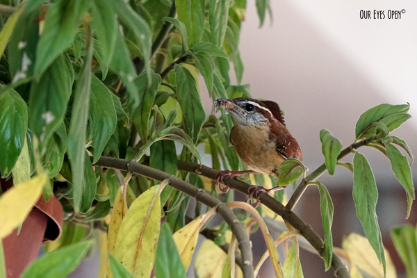 Carolina Wren with an insect in its beak to feed 3 hungry chicks.