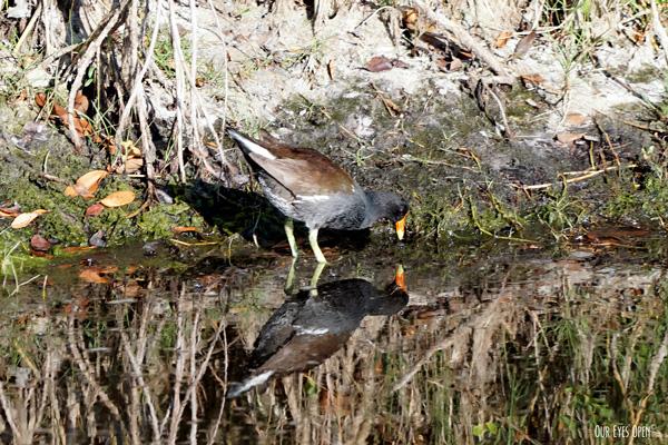 Common Gallinule feeding along the water line in some mangroves at Merritt Island Wildlife Refuge.