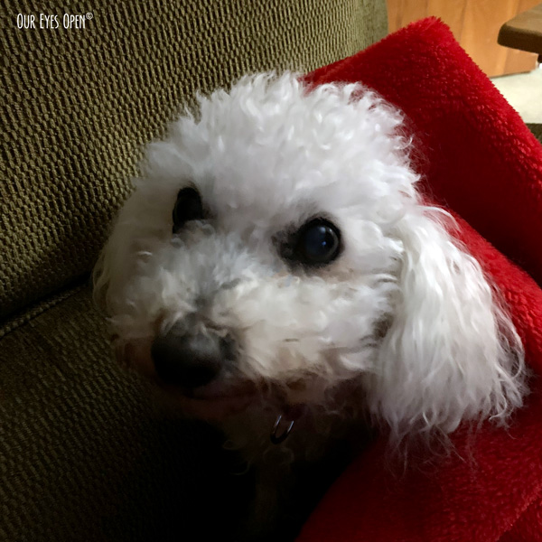 Heaven, our 14 year old Bichon Frise wrapped up in her blanket.