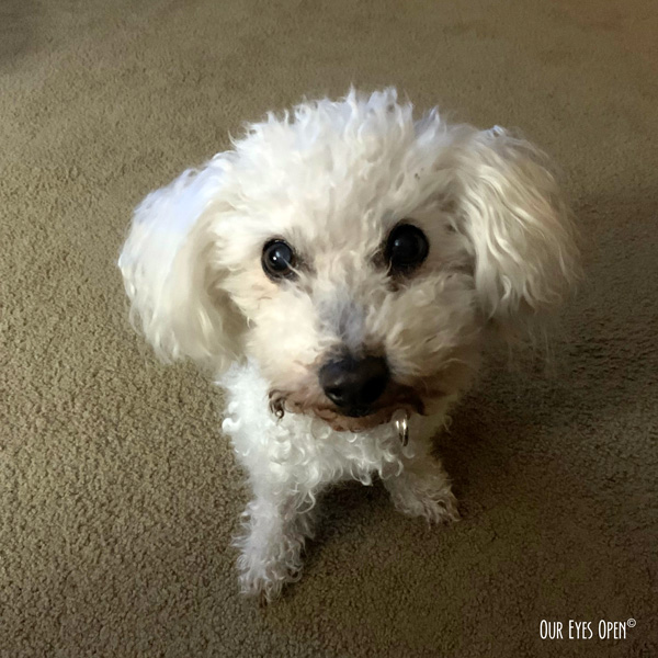 Heaven, our 14 year old Bichon Frise waiting for an action word.