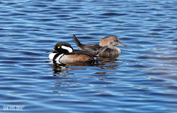Hooded Mergansers shining in the bright sunlight at Merritt Island Wildlife Refuge.