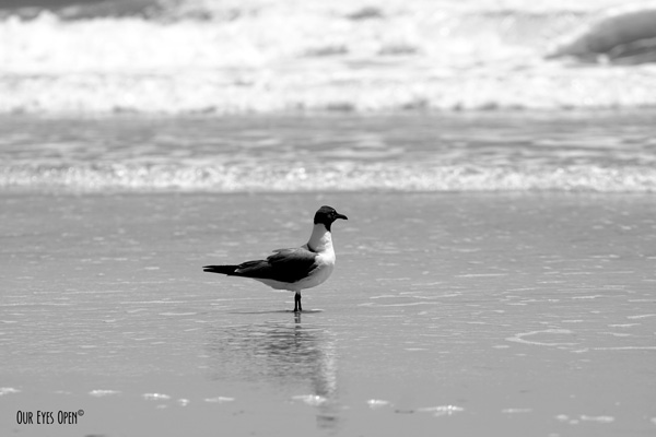 Laughing Gull at Little Talbot Island State Park.
