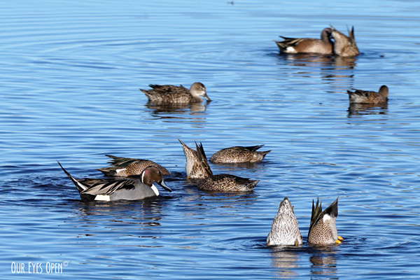 Northern Pintail among some Blue-winged Teals at Merritt Island Wildlife Refuge.