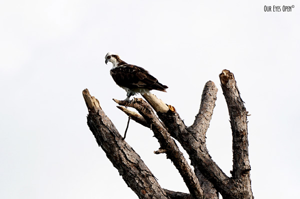Osprey perched up on a Driftwood Tree on Little Talbot Island State Park in Jacksonville, Florida.