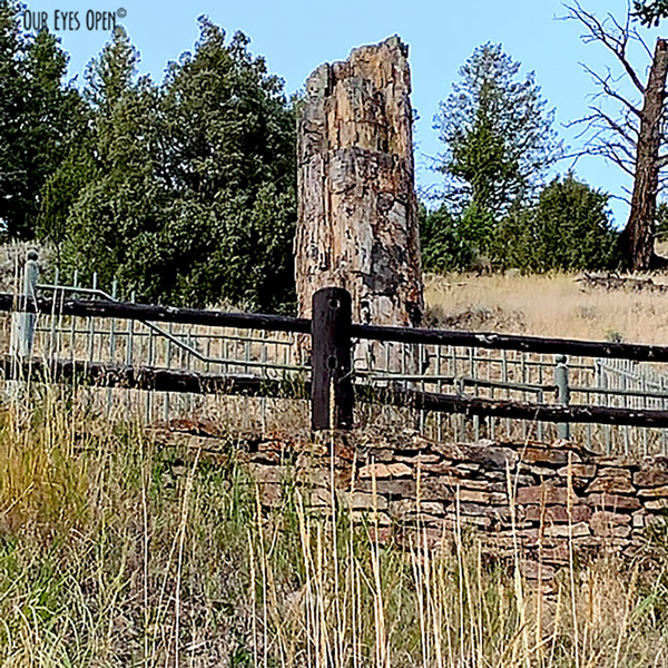 Petrified Tree that is tens of millions years old still standing in Yellowstone National Park.