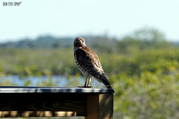 Red-tailed Hawk saying hello from the overlook at the entrance to Merritt Island Wildlife Refuge.