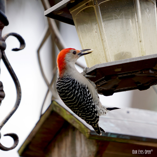 Red-bellied Woodpecker stealing all the peanuts in our feeder while hanging upside down.  He grabbed it and flew off to stash it away.  This went on for over 30 minutes.