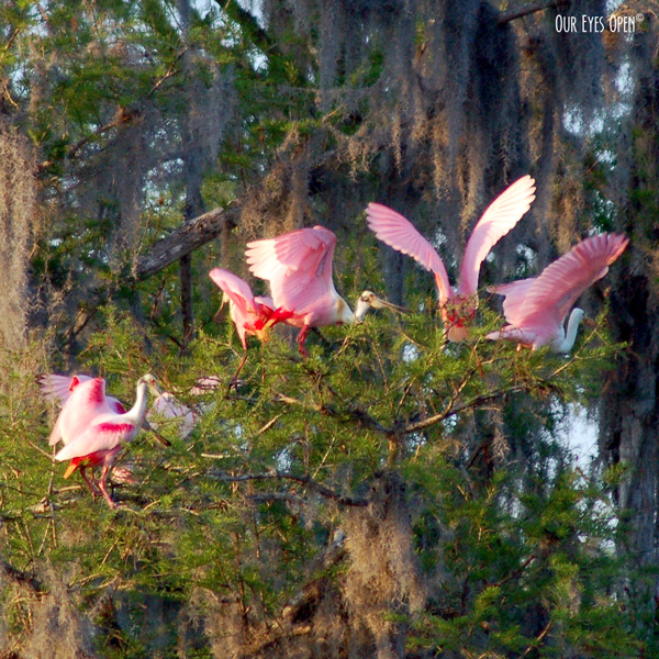 Roseate Spoonbills preparing to roost for the night in some trees along the Hillsborough River at Lettuce Lake Park in Tampa, Florida.