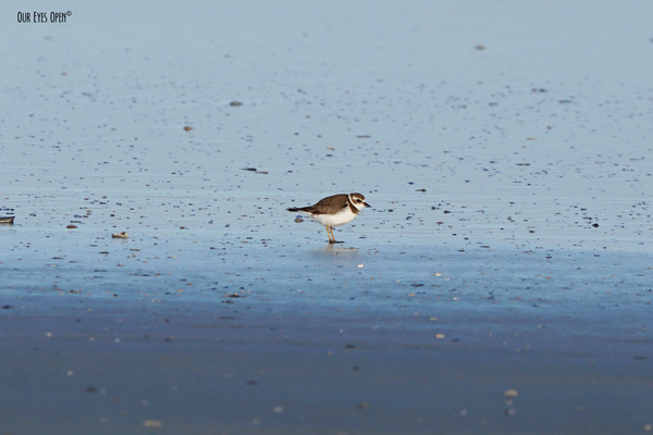 Semipalmated Plover located at Huguenot Park in Jacksonville, Florida on the last day of 2020.