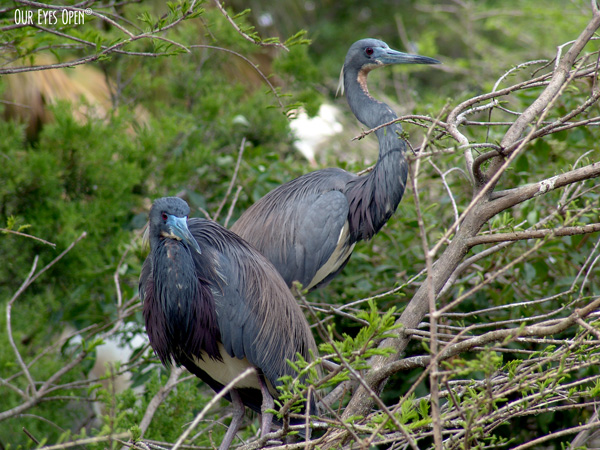 Tricolored Herons perched up in a tree at the Alligator Farm in St. Augustine, Florida.