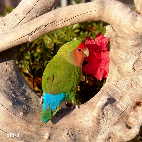 Tweety the Love Bird was perched up on a piece of driftwood in our garden ready for his photoshoot near the azalea.