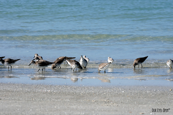 Willets feeding along the shoreline at Fort Desoto Park in Pinellas County Florida.